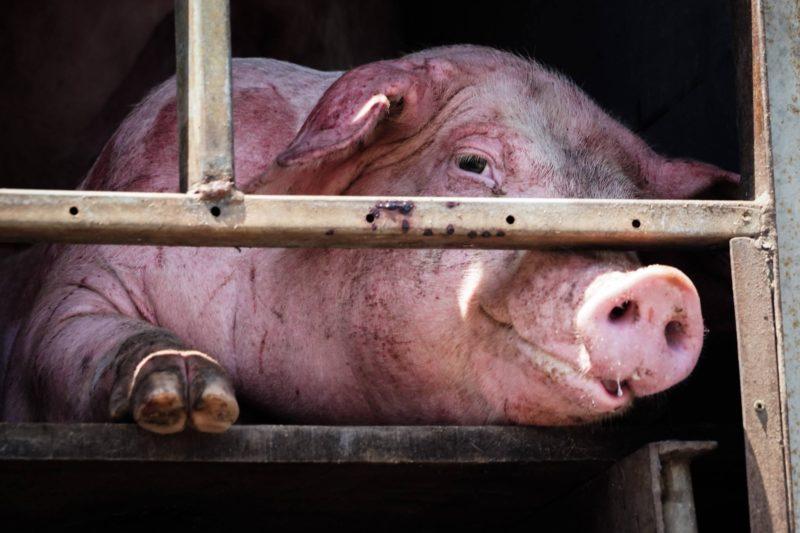Pig in van looking at camera by PG Pics